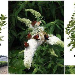 Gartenpflanzen winterhart mehrjährig als Sichtschutz